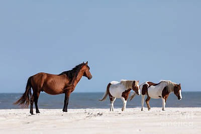 Photograph - Assateague Ponies On The Beach by Shelley Paulson
