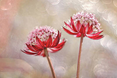 Vintage Performace Cars - Astrantia Star of fire by Iwona Sikorska