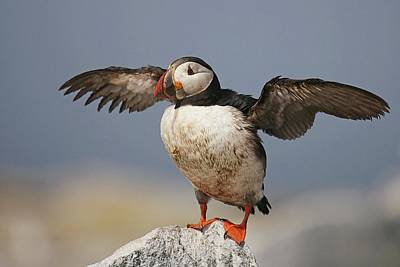 Lori A Cash Royalty-Free and Rights-Managed Images - Atlantic Puffin Landing by Lori A Cash