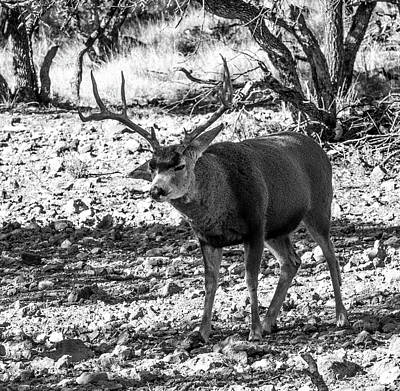 Travel Rights Managed Images - Attitude - Mule Deer Buck BW Royalty-Free Image by Renny Spencer