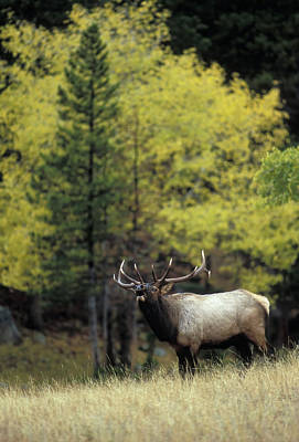 Rose - Autumn Bull Elk Bugling  by Gary Langley