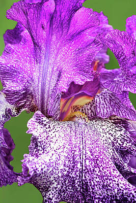Shark Art - Autumn Explosion Iris Portrait by Regina Geoghan