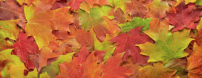 Royalty-Free and Rights-Managed Images - Autumn Maple Leaves by Steve Gadomski