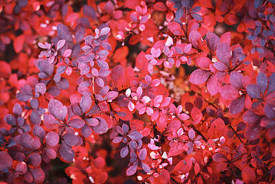 Royalty-Free and Rights-Managed Images - Autumn red violet vibrant bush foliage background by Julien
