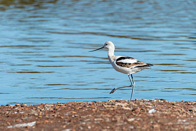 Photo Royalty Free Images - Avocet Stroll Along the River  Royalty-Free Image by Debra Martz