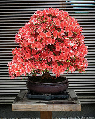 Design Turnpike Books Royalty Free Images - Azalea Bonsai Royalty-Free Image by Jerry Fornarotto
