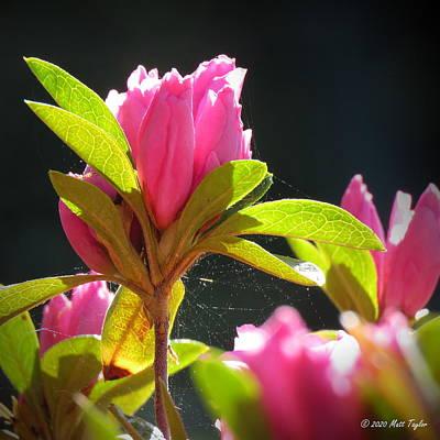 Photograph - Azaleas, Webs, Pollen by Matt Taylor
