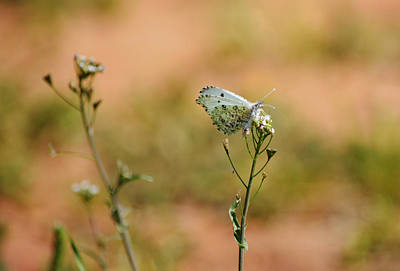 Red Roses - Azure Butterfly on Wildflower Bud by Gaby Ethington
