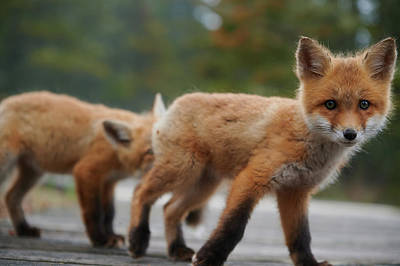 Curtis Patterson Rights Managed Images - Baby Foxes Royalty-Free Image by Curtis Patterson