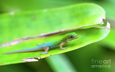 Wild Horse Paintings - Baby Gecko takes a stroll in the bromeliad patch by Phillip Espinasse