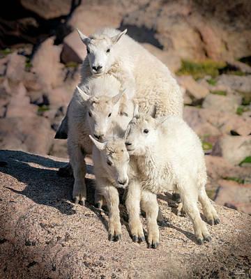 Lovely Lavender - Baby Mountain Goat Pyramid by Judi Dressler