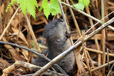 Farm House Style - Baby Muskrat Holding On by Marlin and Laura Hum