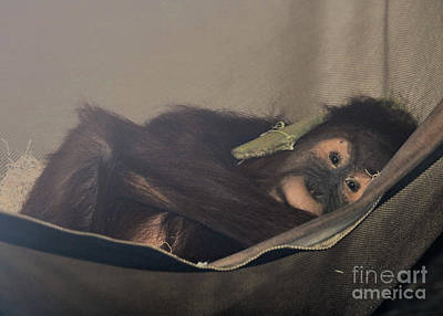 Modern Sophistication Line Drawings Royalty Free Images - Baby Orangutan Naptime Royalty-Free Image by Diann Fisher