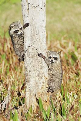 Lori A Cash Royalty-Free and Rights-Managed Images - Baby Raccoons Climbing Tree by Lori A Cash