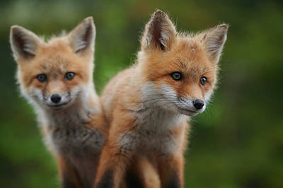 Curtis Patterson Rights Managed Images - Baby red foxes Royalty-Free Image by Curtis Patterson