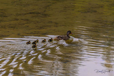Animals Royalty-Free and Rights-Managed Images - Baby wood ducks following behind their mother by Dan Friend