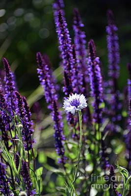 Photograph - Bachelor Button Blooms Amid Salvia by Rose De Dan