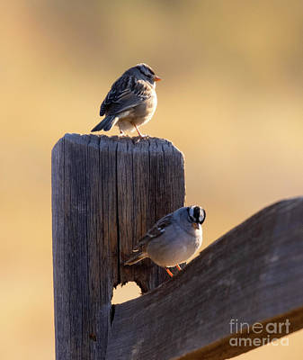 Steven Krull Royalty-Free and Rights-Managed Images - Backlit Vesper Sparrow in the Morning by Steven Krull
