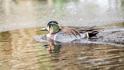 Photograph - Baikal Teal, a beautiful and rare visitor in Sweden by Torbjorn Swenelius