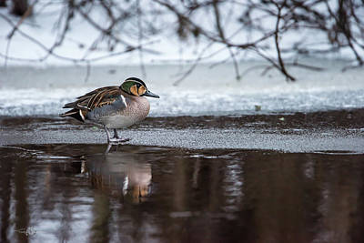 Photograph - Baikal Teal a rare visitor in Sweden by Torbjorn Swenelius