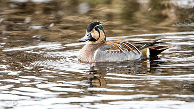 Photograph - Baikal Teal, a swinning beauty and rare visitor in Sweden by Torbjorn Swenelius