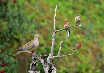 Animals Royalty-Free and Rights-Managed Images - Balance - One Mourning Dove Equals Three House Finches  by Linda Brody