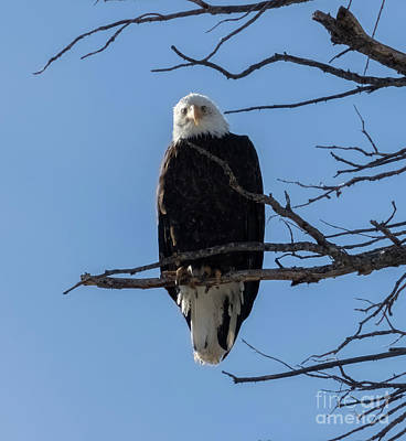 Steven Krull Royalty-Free and Rights-Managed Images - Bald Eagle Cold Stare by Steven Krull