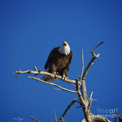 Royalty-Free and Rights-Managed Images - Bald Eagle Cries From the Skies by Christopher Thomas