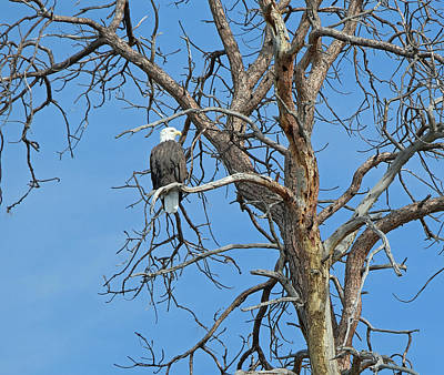 Outerspace Patenets Royalty Free Images - Bald Eagle, Flathead Lake MT Royalty-Free Image by Kevin Felts