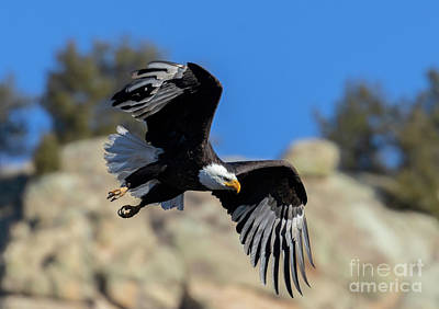 Steven Krull Royalty-Free and Rights-Managed Images - Bald Eagle Flexing Wings by Steven Krull