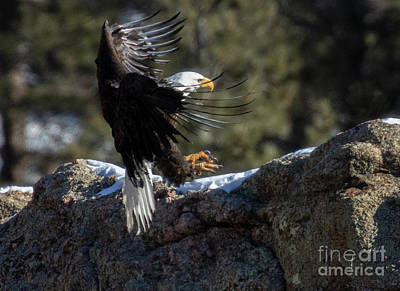Steven Krull Royalty-Free and Rights-Managed Images - Bald Eagle Flying In by Steven Krull