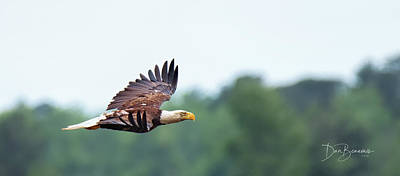 Dan Beauvais Rights Managed Images - Bald Eagle in Flight 3912 Royalty-Free Image by Dan Beauvais