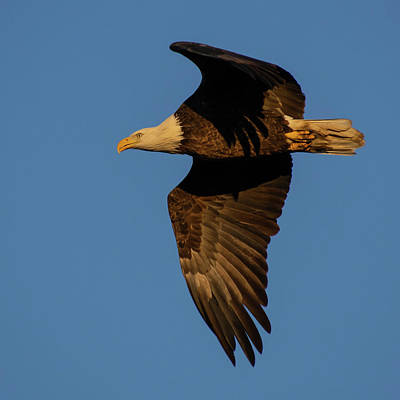 Granger - Bald Eagle in Flight by Cascade Colors