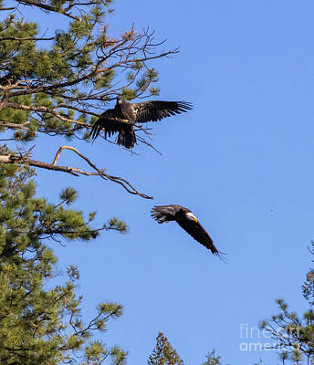 Steven Krull Royalty-Free and Rights-Managed Images - Bald Eagle in Flight Near Fledgling by Steven Krull