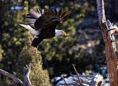 Steven Krull Royalty-Free and Rights-Managed Images - Bald Eagle Launch by Steven Krull