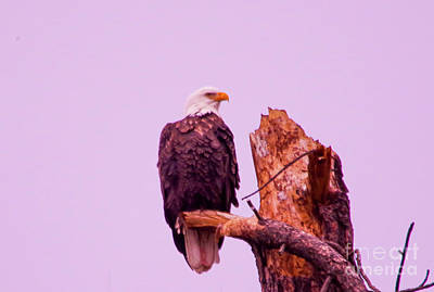 Royalty-Free and Rights-Managed Images - Bald eagle on a snag by Jeff Swan