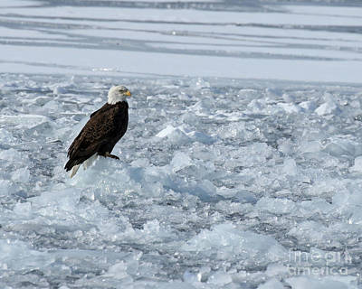 Birds Rights Managed Images - Bald eagle on ice Royalty-Free Image by Heather King