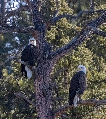 Steven Krull Royalty-Free and Rights-Managed Images - Bald Eagle Pair in Eleven Mile Canyon by Steven Krull