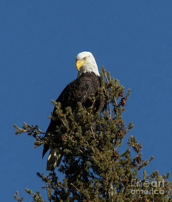 Steven Krull Royalty-Free and Rights-Managed Images - Bald Eagle Posing in Eleven Mile Canyon by Steven Krull