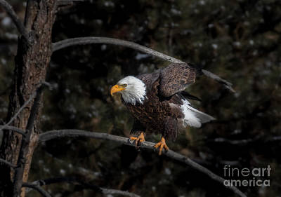 Steven Krull Royalty-Free and Rights-Managed Images - Bald Eagle Preparing a Takeoff by Steven Krull