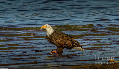 Advertising Archives - Bald Eagle Profile 5 by Mitch Shindelbower