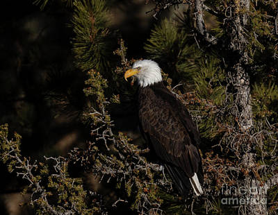 Steven Krull Royalty-Free and Rights-Managed Images - Bald Eagle Regal Pose by Steven Krull