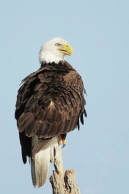 Lori A Cash Royalty-Free and Rights-Managed Images - Bald Eagle Sitting by Lori A Cash