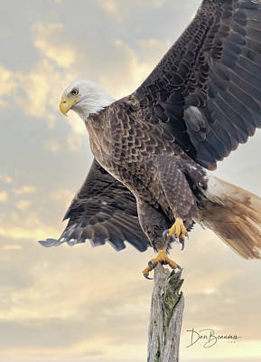 Dan Beauvais Rights Managed Images - Bald Eagle Takeoff 1116 Royalty-Free Image by Dan Beauvais