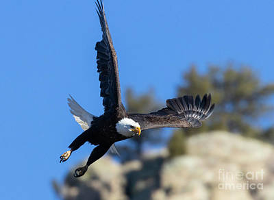Steven Krull Royalty-Free and Rights-Managed Images - Bald Eagle Wings Spread by Steven Krull