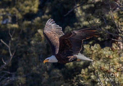 Steven Krull Royalty-Free and Rights-Managed Images - Bald Eagle Wings Up by Steven Krull