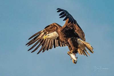 Dan Beauvais Photos - Bald Eagle with Catch #4590 by Dan Beauvais