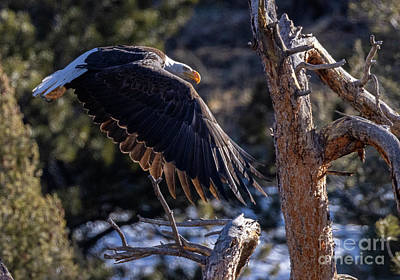 Steven Krull Royalty-Free and Rights-Managed Images - Bald EagleFlaps Down by Steven Krull