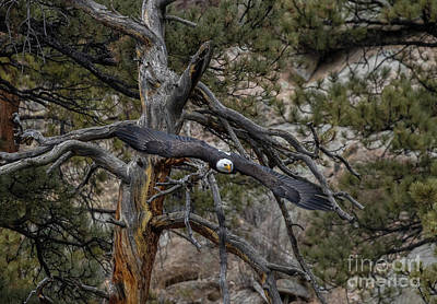 Steven Krull Royalty-Free and Rights-Managed Images - Bald Eagles Diving from Dead Tree by Steven Krull