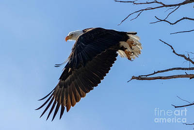 Steven Krull Royalty-Free and Rights-Managed Images - Bald Eagles Exiting Tree by Steven Krull